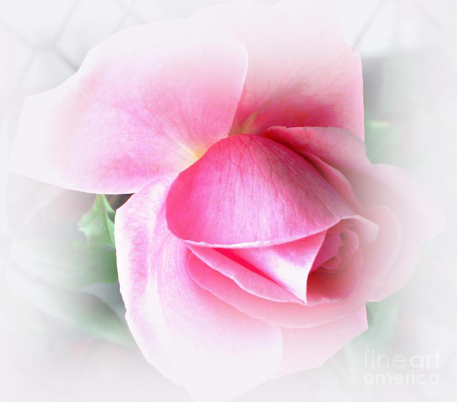 Pink Rose Photograph - Heartfelt Pink Rose by Judy Palkimas
