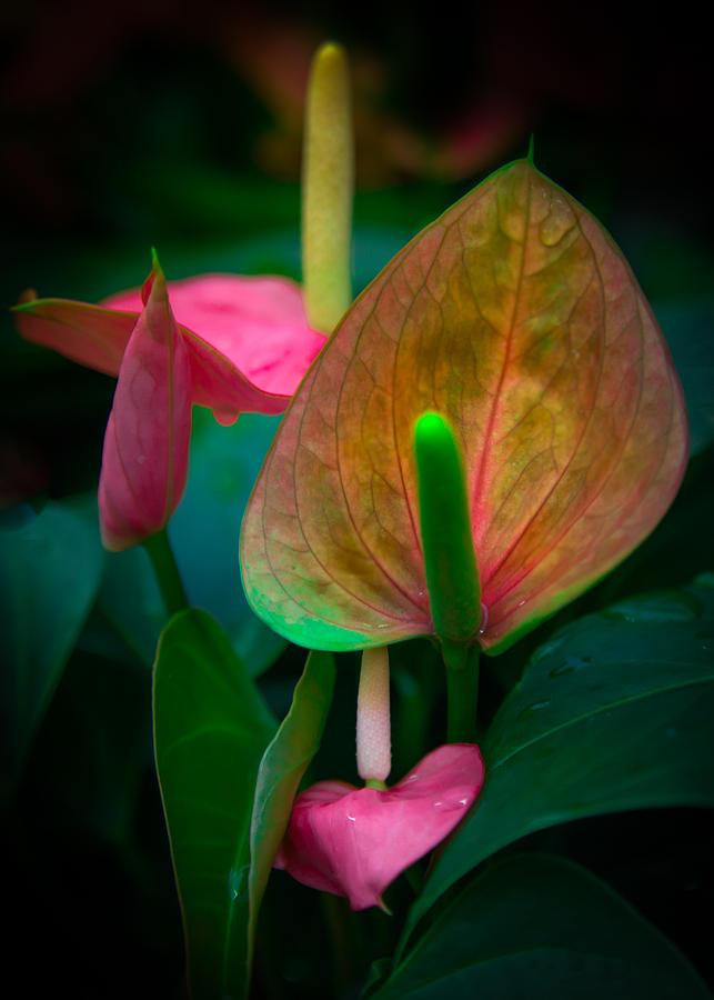 Anthurium Photograph - Hearts Of Joy by Karen Wiles