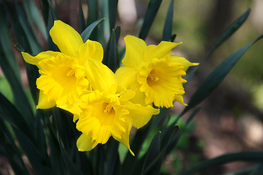 Narcissus Photograph - Hearty Daffodils by Mary Burr
