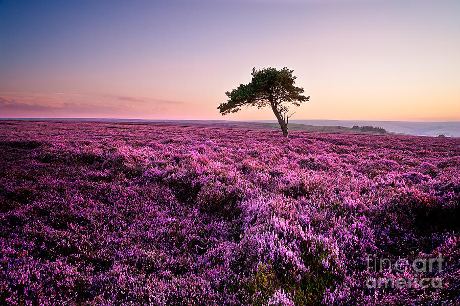 Heather Photograph - Heather At Sunset by Janet Burdon