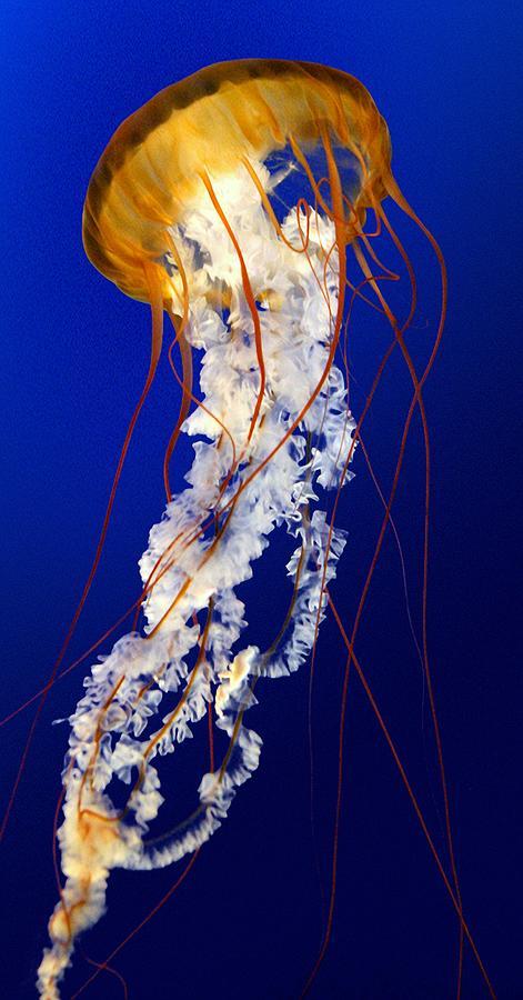 Jellyfish Photograph - Heavenly Ascent by Paula Marie deBaleau