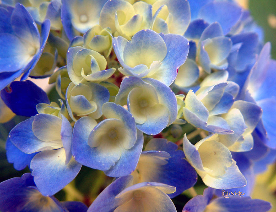 Floral Photograph - Heavenly Blues by RC DeWinter