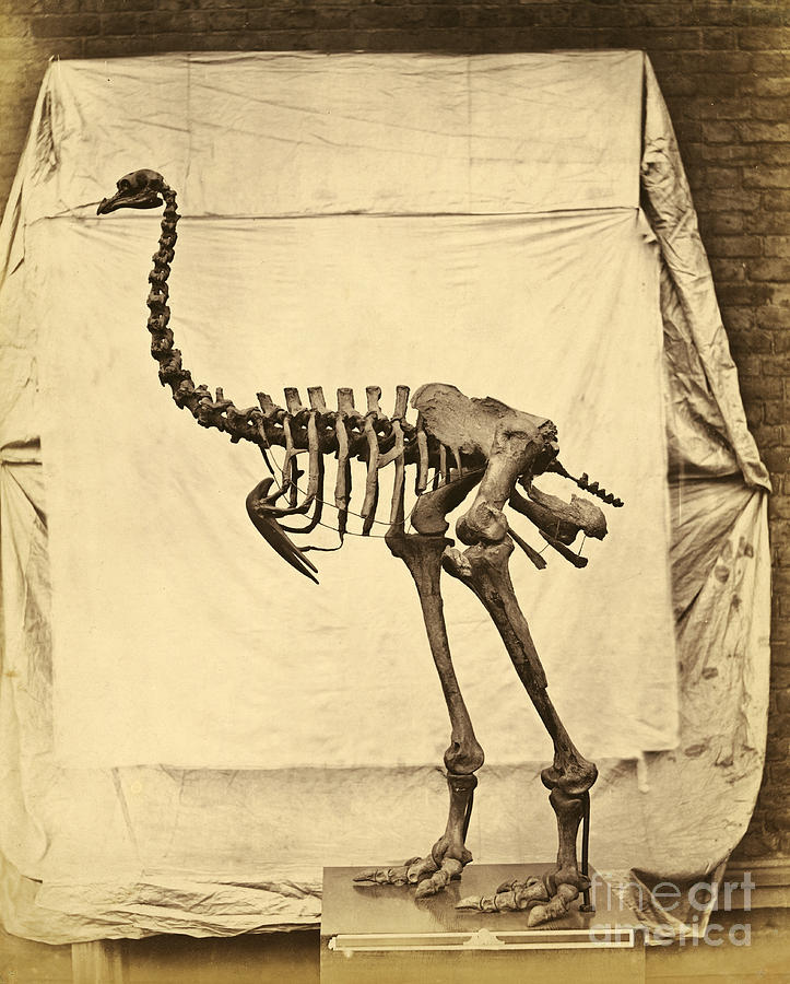 Moa Photograph - Heavy Footed Moa Skeleton by Getty Research Institute