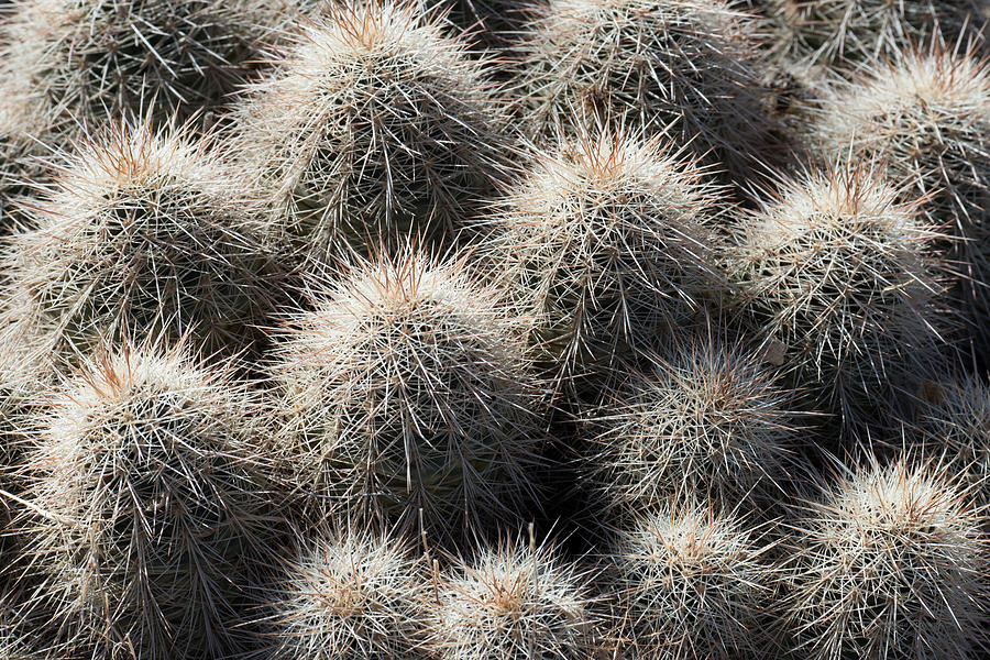 Hedgehog Cactus by Avian Resources