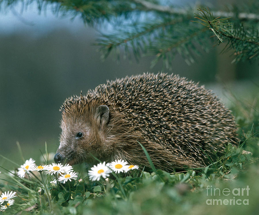Animal Photograph - Hedgehog With Flowers by Hans Reinhard