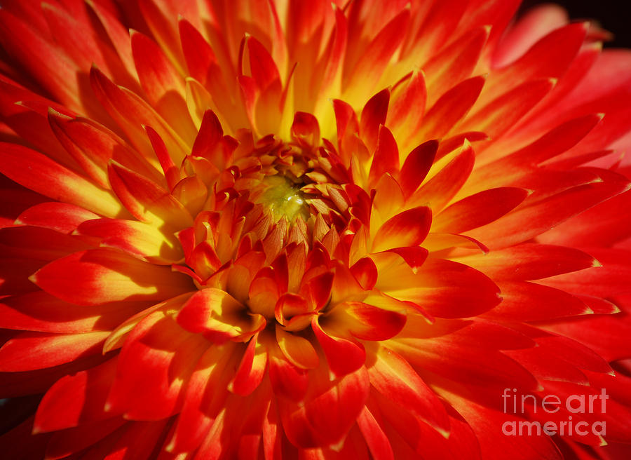 Helen's Dahlia by Victoria Page