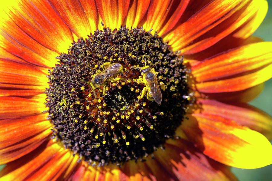 Sunflower Photograph - Helianthus Annuus solar Eclipse by Brian Gadsby/science Photo Library