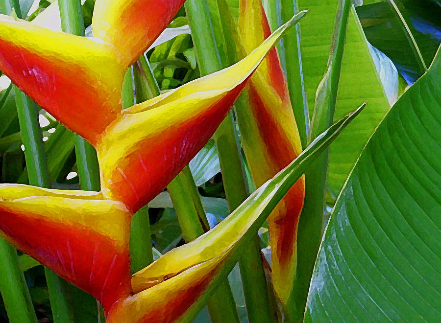 Heliconia Photograph - Heliconia Bihai Kamehameha by James Temple
