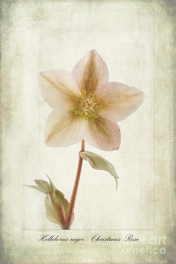 Christmas Rose Photograph - Helleborus Niger by John Edwards