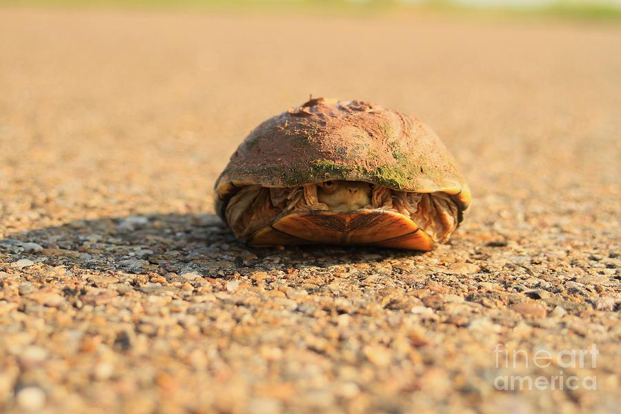 Turtle Photograph - Hello  Anyone Home by Ashley M Conger