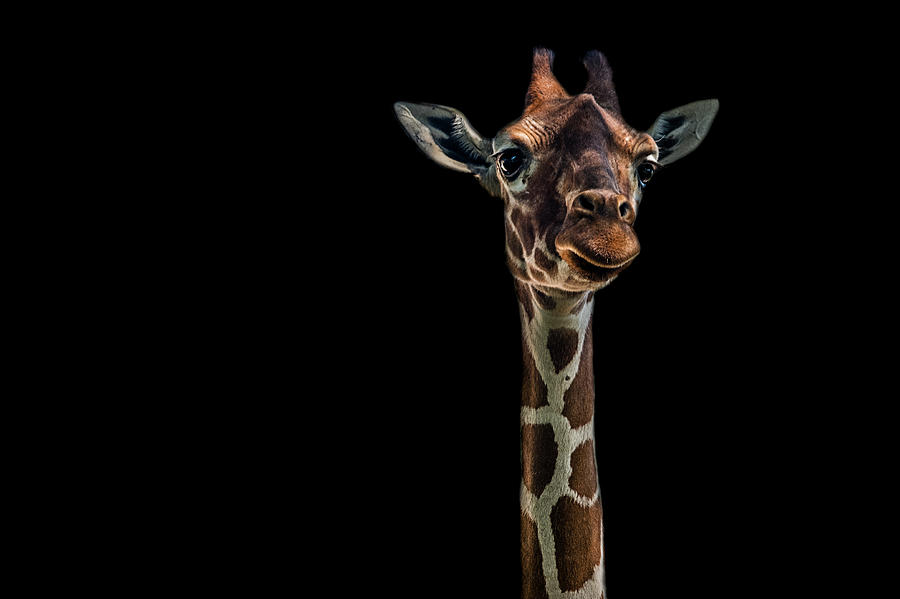 Giraffe Photograph - Hello by Branko Markovic