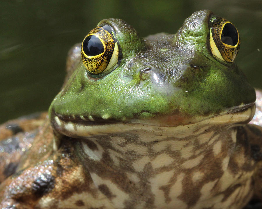 Frogs Photograph - Hello by Bruce  Morrell