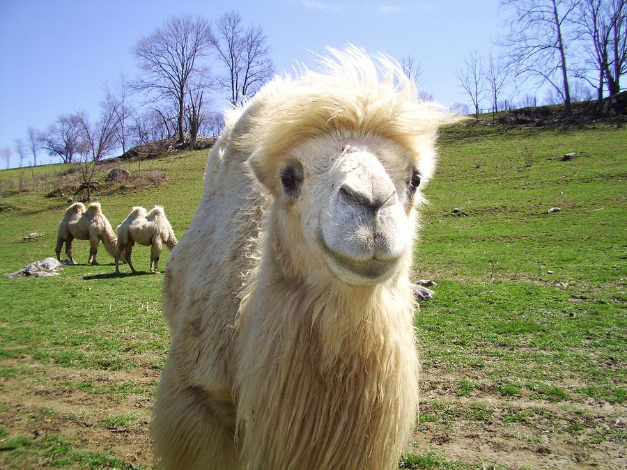 Camel Photograph - Hello by Cynthia Guinn