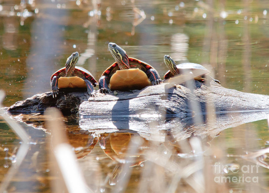 Painted Turtle Photograph - Hello Hello Hello by Cheryl Baxter