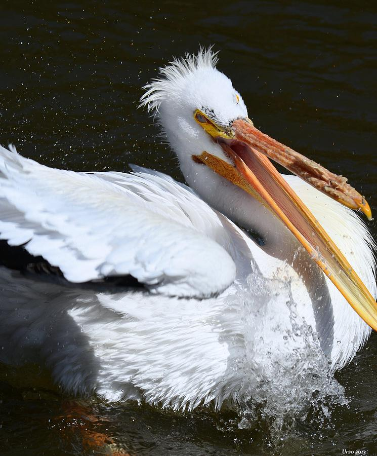Pelican Photograph - Hello My Ragtime Gal by Maria Urso