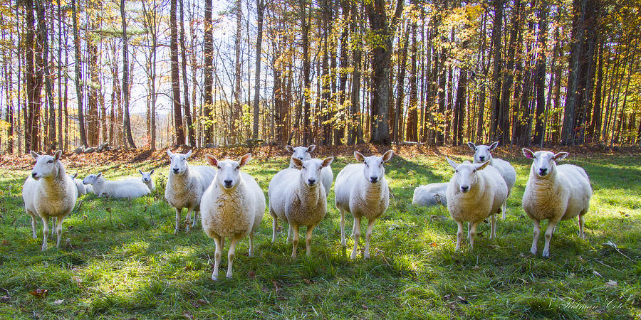Sheep Photograph - Hello There by Natalie Rotman Cote