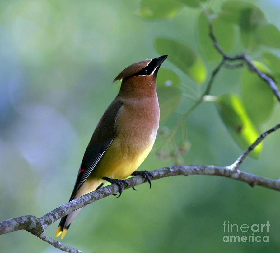 Cedar Waxwing Photograph - Hello Up There by Inspired Nature Photography Fine Art Photography