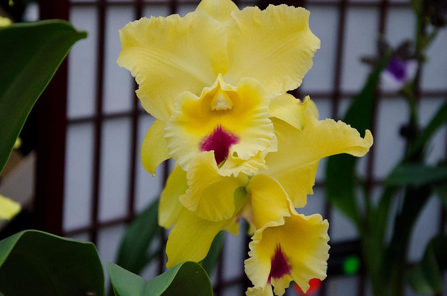 Orchid Photograph - Hello Yellow by Heidi  Kleva