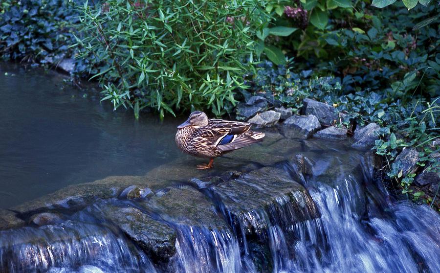 Mallard Photograph - Hen Fall by Skip Willits
