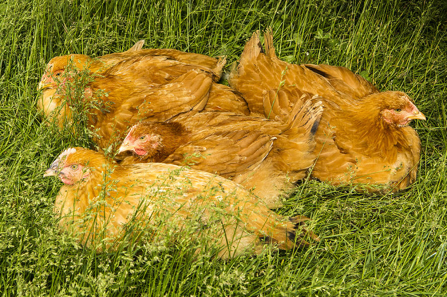 Animal Photograph - Hen Party by Jean Noren