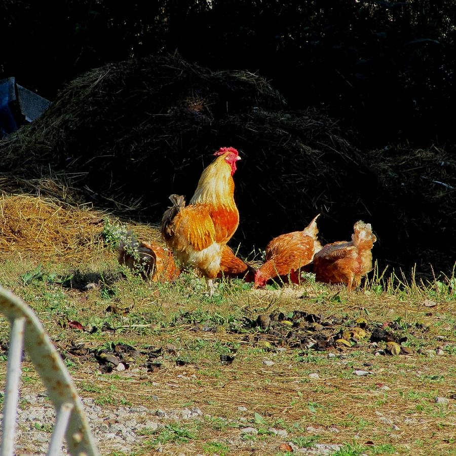 Rooster Photograph - Henry And His Girls by Carol Hoffman