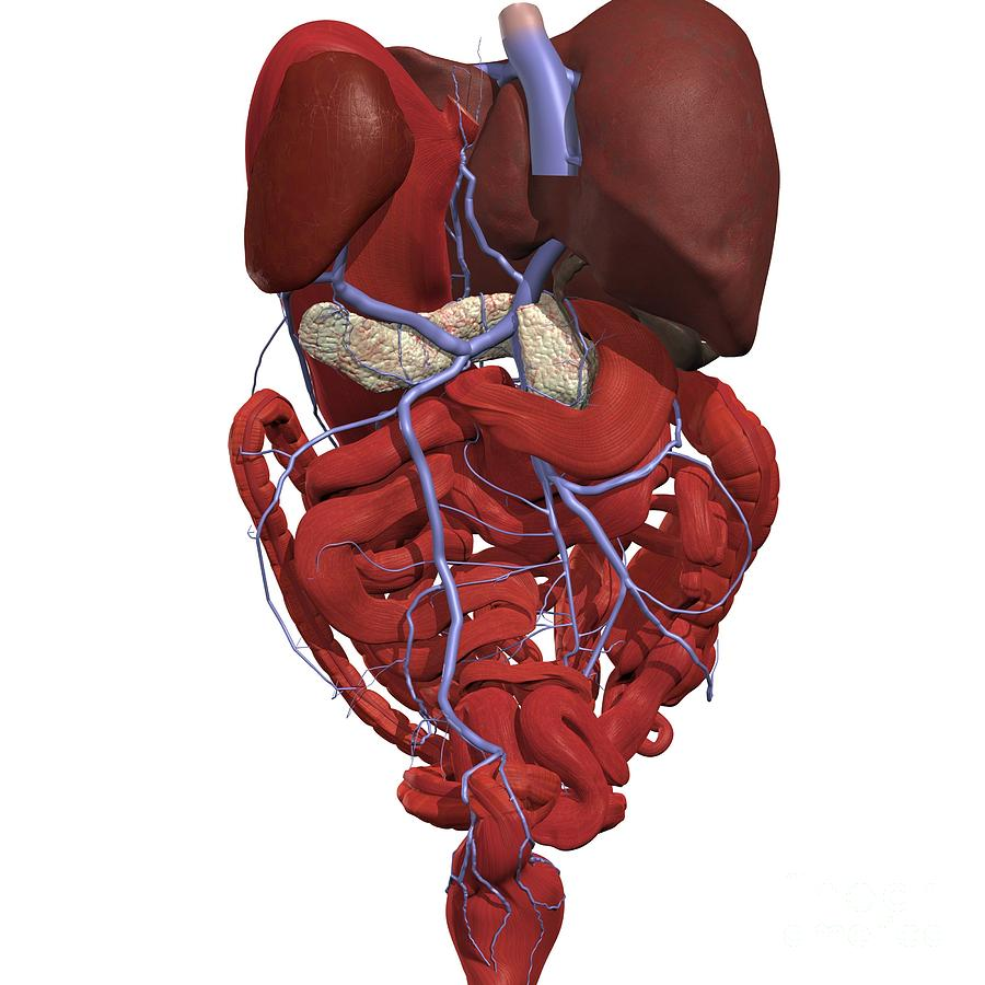 Hepatic Portal System Photograph By Medical Images Universal