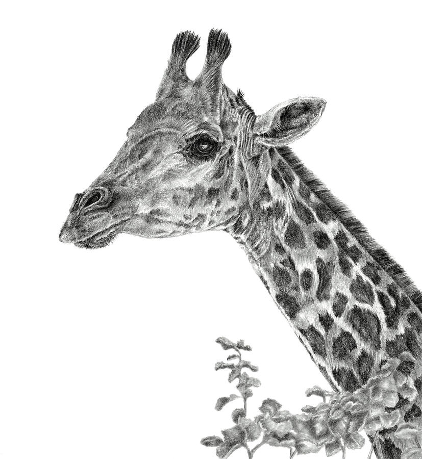 Giraffe Drawing - Her Majesty by Pencil Paws