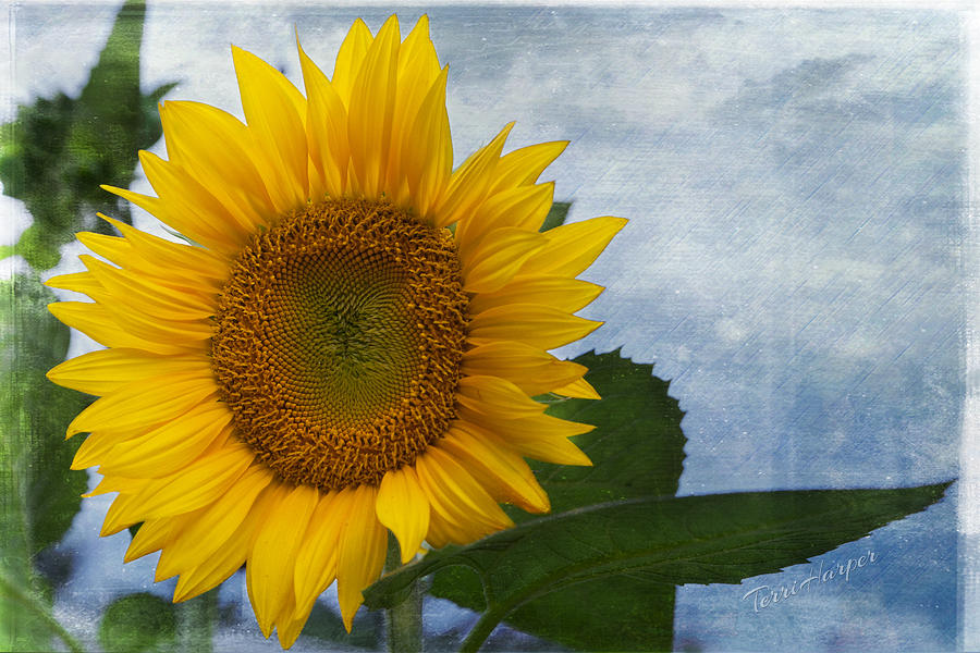 Sunflower Photograph - Her Majesty by Terri Harper