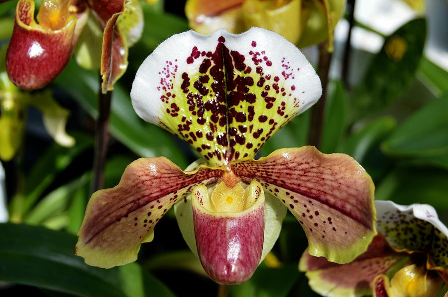 Paphiopedilum Photograph - Her Slipper by David Earl Johnson