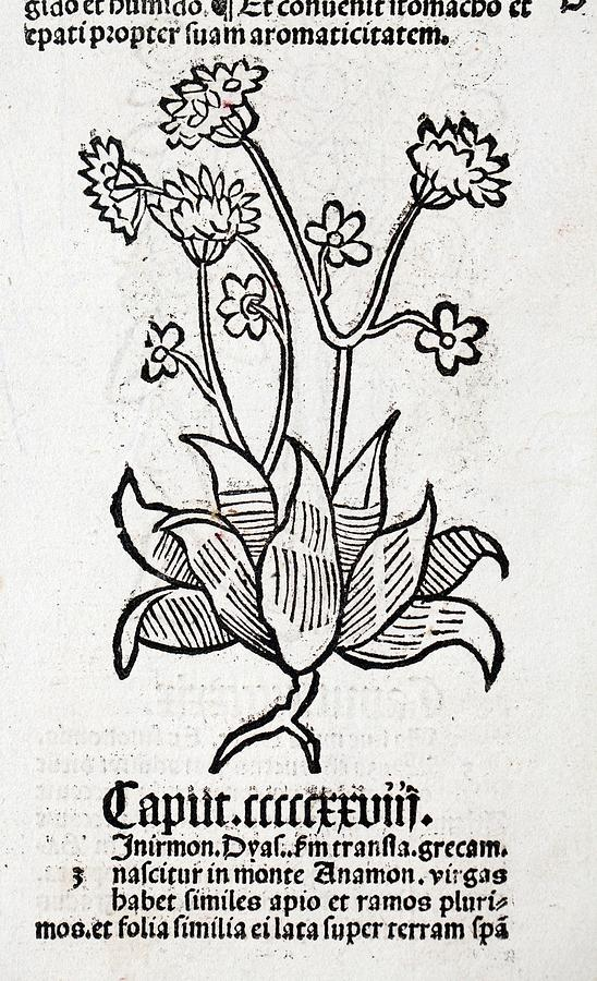 Herb Photograph - Herbal Plant by Paul D Stewart