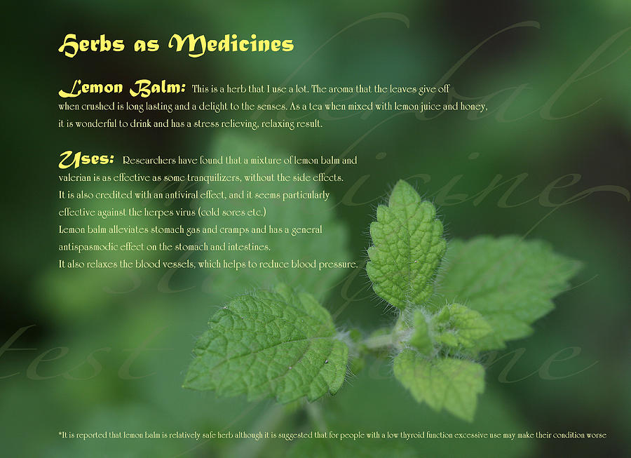 Herbs As Medicines Lemon Balm by Chrissy Dewes