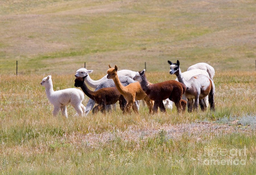 Herd Of Alpaca On The Move Photograph By Steve Krull