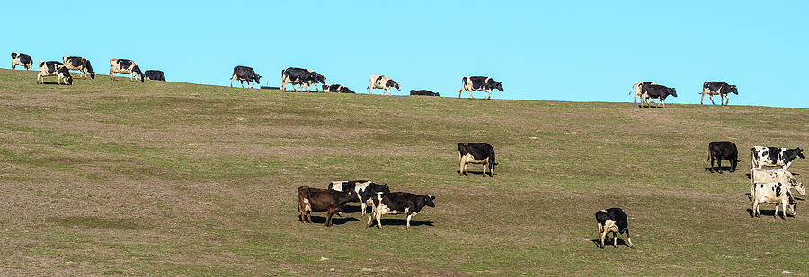 Horizontal Photograph - Herd Of Cows Grazing On A Hill, Point by Panoramic Images