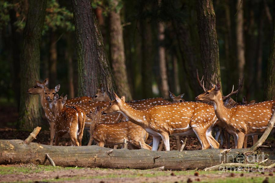 Herd Photograph - Herd Of Deer In A Dark Forest by Nick  Biemans