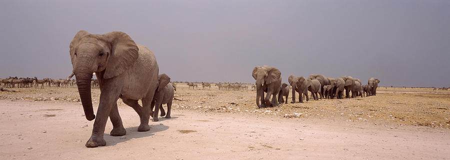 Horizontal Photograph - Herd Of Female African Elephants by Animal Images