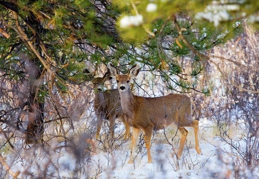Herd Of Mule Deer In Colorado Winter Photograph by Swkrullimaging
