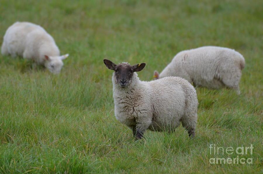 Sheep Photograph - Herd Of Sheep by DejaVu Designs