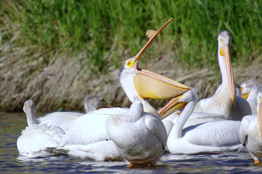Pelicans Photograph - Here Fishy Fishy Fishy  by Jeff Swan