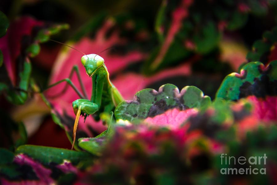 Praying Mantis Photograph - Here I Am by Robert Bales