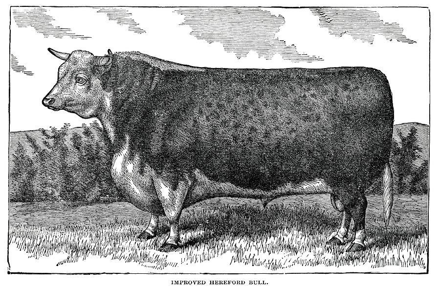 Hereford Bull Digital Art by Nnehring