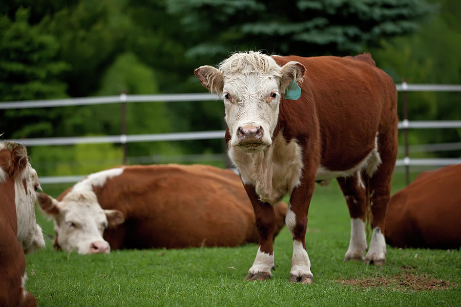Hereford Cows In Green Pasture Photograph by Emholk