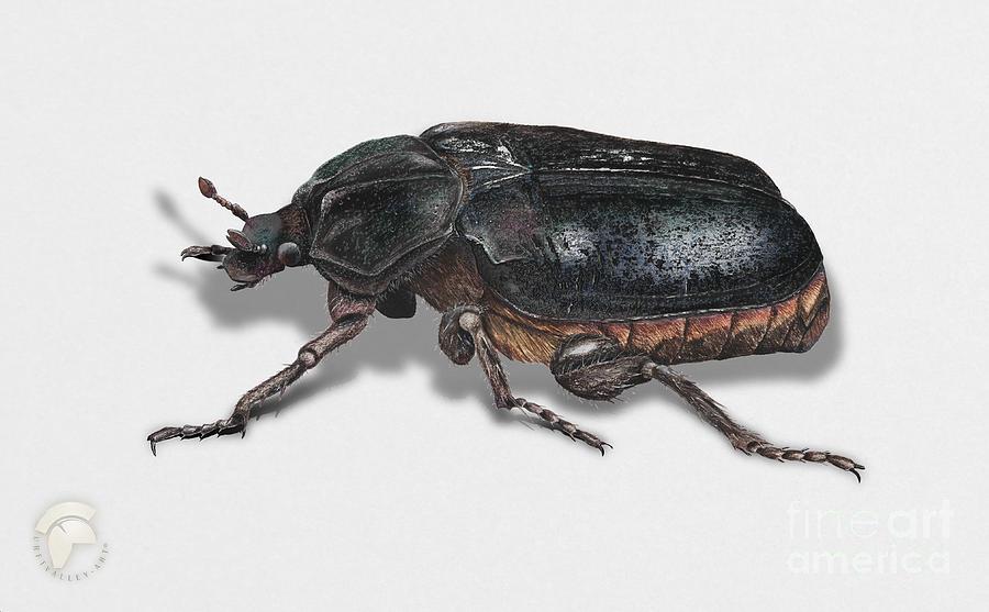 Illustrations Painting - Hermit Beetle - Russian Leather Beetle - Osmoderma Eremita - Pique Prune - Erakkokuoriainen by Urft Valley Art