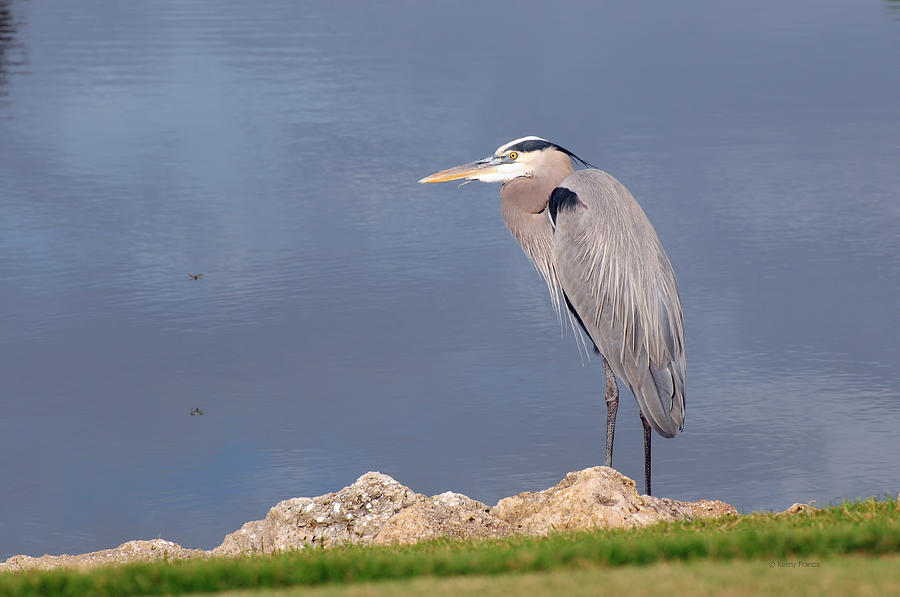 Kenny Francis Photograph - Heron And Pond by Kenny Francis