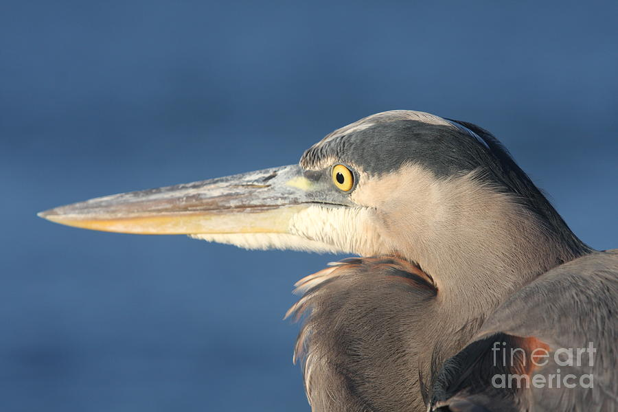 Heron Photograph - Heron Close-up by Christiane Schulze Art And Photography