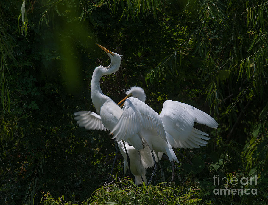 Heron Dance Photograph