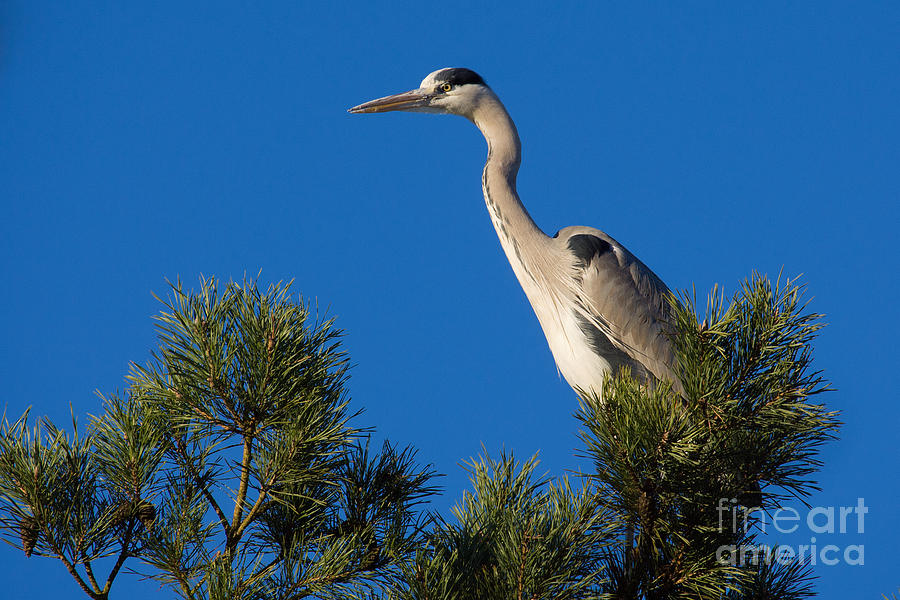 Heron High Up In A Pine Tree Photograph
