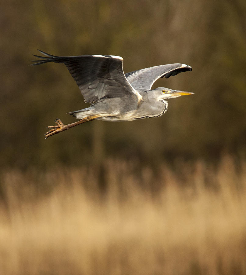 Heron Photograph - Heron In Flight by Simon West