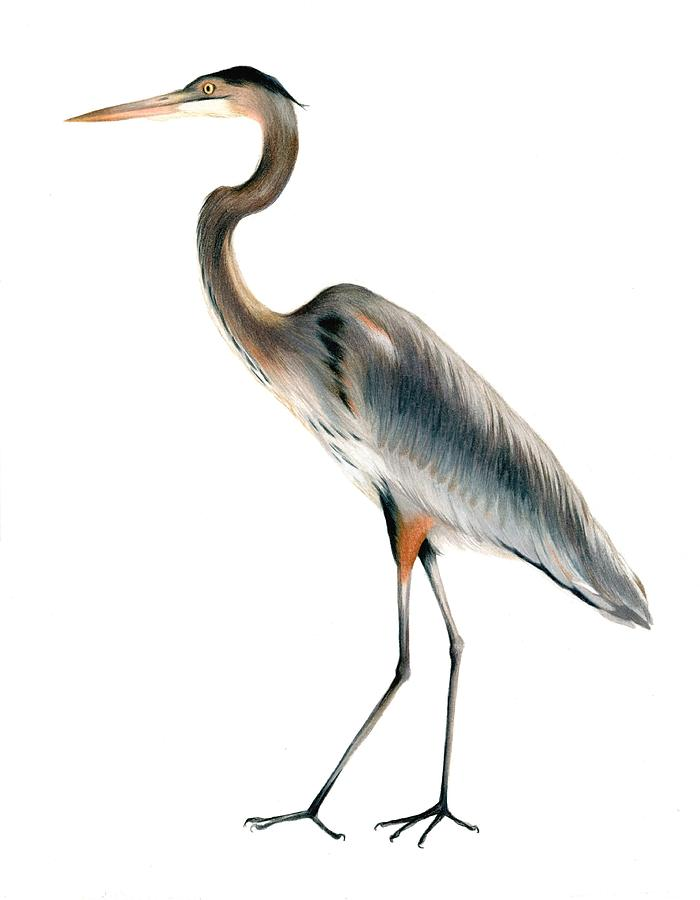 Heron Walking Drawing By Heather Mitchell