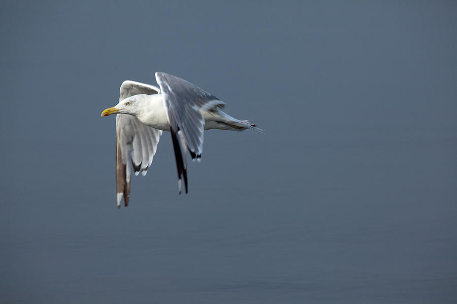 Flight Photograph - Herring Gull In Flight by Karol Livote