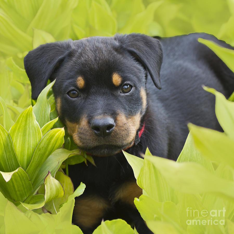 Rottweiler;rottweiler Puppy;pet Photograph - Hey Here I Am by Heiko Koehrer-Wagner